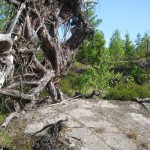 A fallen tree, which previously stood on a rock surface, making its roots crawl all over the place.