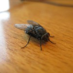 This fat fly fell down on my desk one day at work. He crawled around for a bit, and then apparently died. As he well... stopped moving and went all stiff. I regret not checking his breath to make sure...